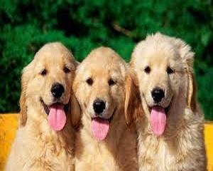Бизнес идея: Развъждане на кучета